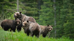 Political stunts and political spin — the confusing tale of the government's inept grizzly bear policy