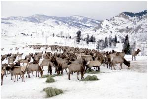 elk feedlot