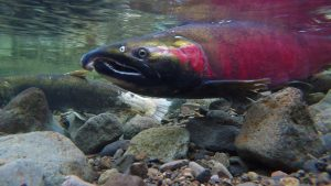Fish Farms and the Need to Protect Wild Salmon